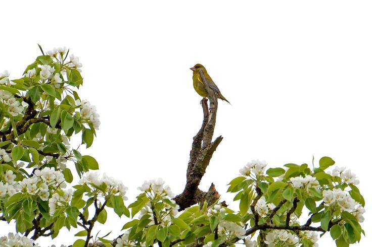 Bovenin de perenboom zoekt de groenling naar een uitzichtplek; hij heeft graag goed overzicht. Hij kleurt mooi tussen het jonge groen. Zou hij daaraan zijn naam soms danken?