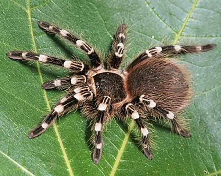 The characteristics of the chilean rose tarantula a tarantula species