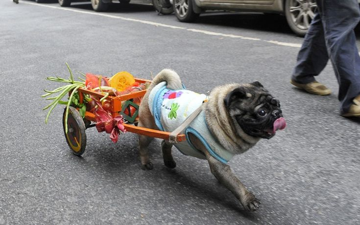 A four-year-old pet pug named Xi Wa (Happy Boy) carries his owner's shopping in a small cart in Changsha, capital of southern China's Hunan Province  Picture: Quirky China News / Rex Features