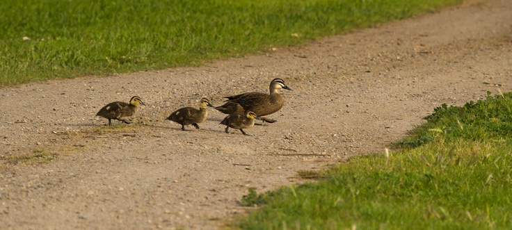 Our resident duck family...