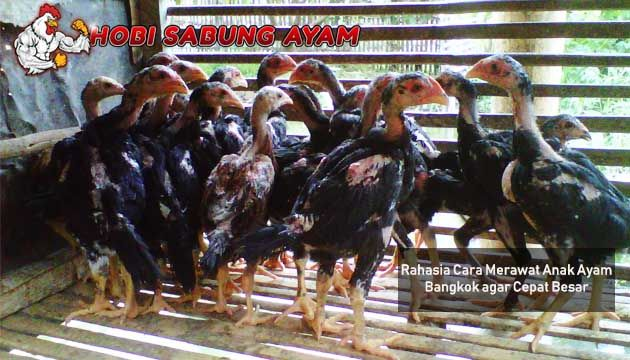 Rahasia Cara Merawat Anak Ayam Bangkok Yang Benar Sabung Ayam
