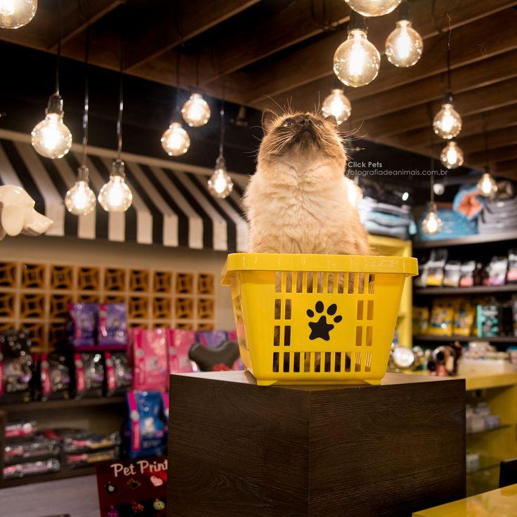 O gato Cisco foi clicado dentro de uma cesta de compras. Isso aconteceu no seu ensaio fotográfico Click Pets, no Pet Muito Pop, um pet shop de Curitiba - PR