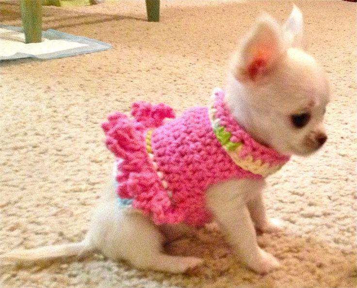Awwww, such a Chihuahua cutie in a cutie pink frilly top.