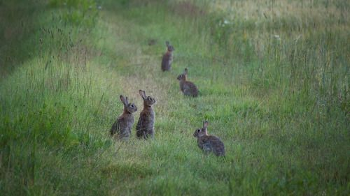 queen-of-mists:  omg <3 <3 <3 we have a family of buns just like these guys living in our garden at home, my dad thinks he's their daddy and leaves them treats sometimes and they'll come play around him while he reads in the backyard lol