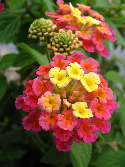 Lantana, tolerate to Texas heat and attracts butterflies and hummingbirds.