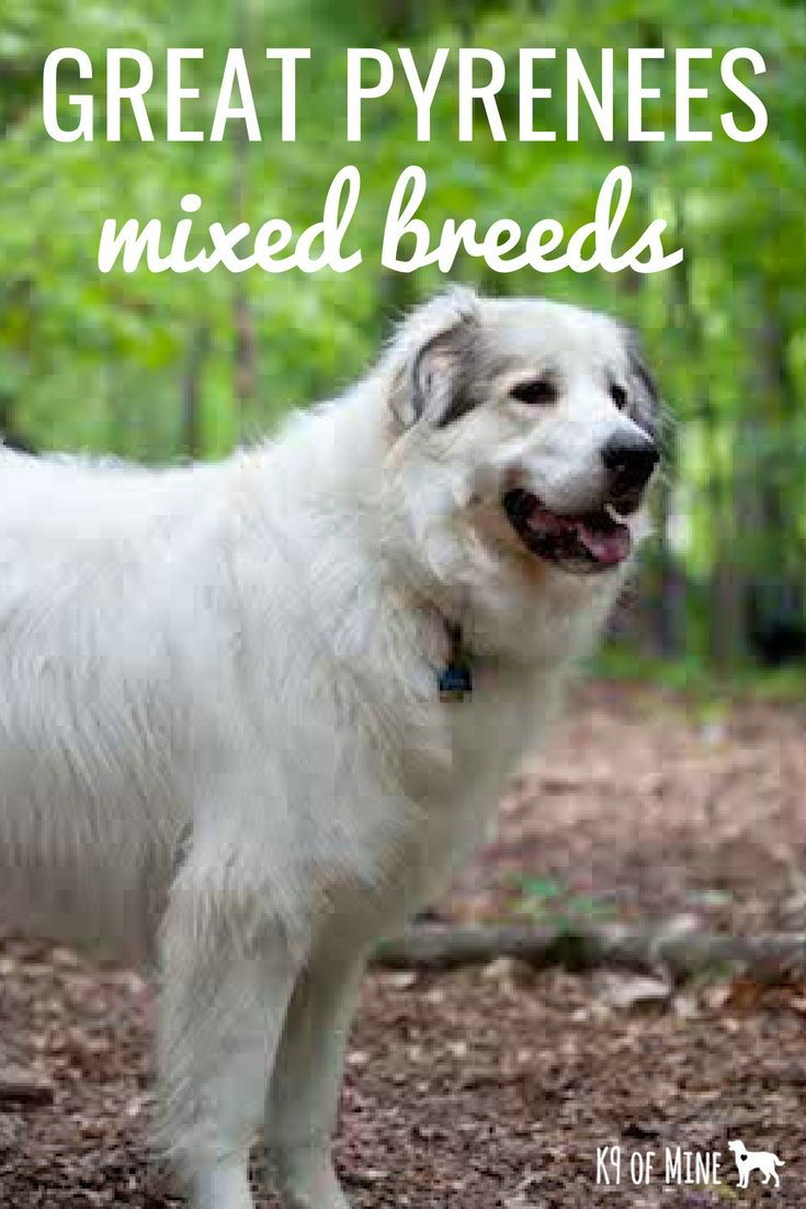 Great Pyrenees Breed Information Great Pyrenees Dog Dog Breeds
