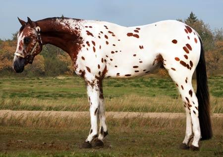 Bay Appaloosa | Equestrian | Pinterest