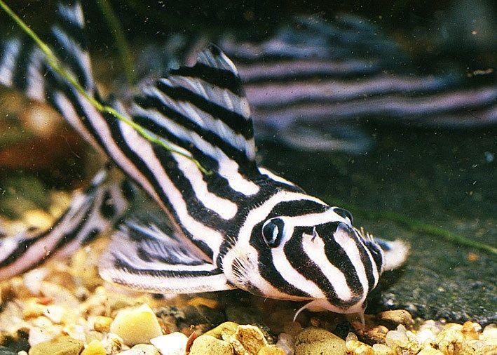 O Amazonas está sendo usado por traficantes internacionais de peixes ornamentais como a principal rota para o comércio ilegal do hypancistrus zebra, espécie de peixe mais conhecida como cascudo zebra, encontrado no rio Xingú, no Pará.