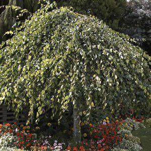 WEEPING BIRCH - Garden Express