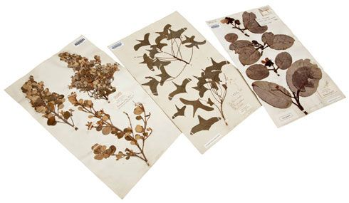 Herbarium sheets of plants collected by Joseph Banks on the Endeavour voyage