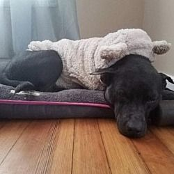 Pictures of Cami a Labrador Retriever for adoption in New York, NY who needs a loving home.