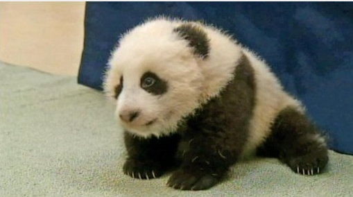 The baby panda at the San Diego Zoo was named Xiao Liwu, which means 'little gift' in English. He was 100 days old on November 4 which is, traditionally, the age that a baby panda receives its name.