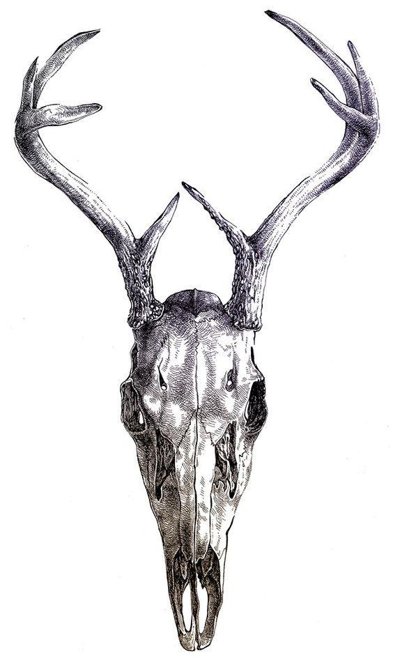 Gazelle skull drawing