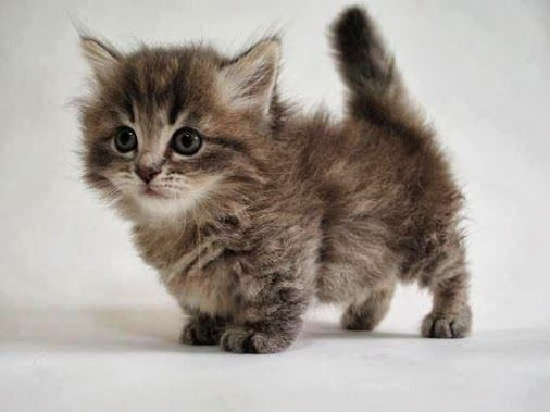 This is a little BABY munchkin cat and its SO CUTE!!!!!!!!!!!!!!!!!