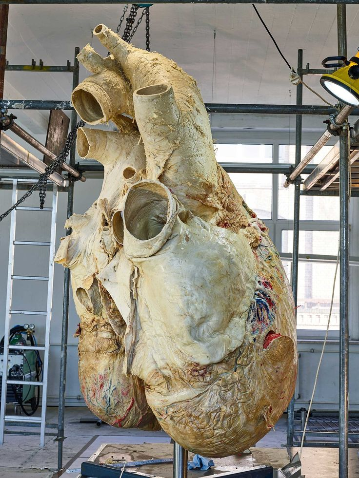 How Scientists Preserved a 440-Pound Blue Whale Heart | WIRED