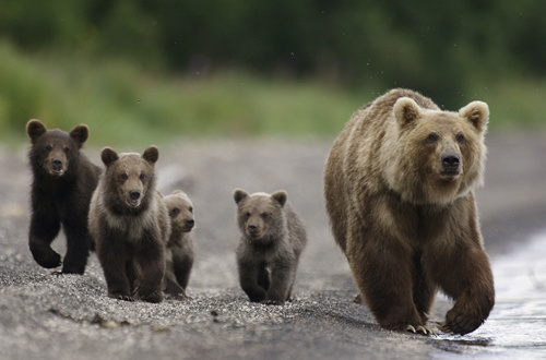bears in Kamchatka. work by Vincent Munier
