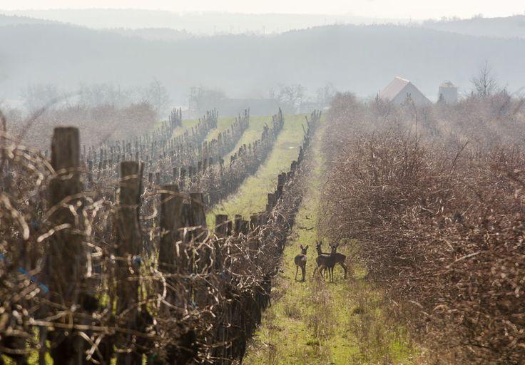 Róth Hajnalka Őzek az Orondi dűlőn Egy szép márciusi napon, a déli órákban találkoztam össze ezekkel az őzekkel a szőlők közt. Több kép Hajnalkától:  https://www.facebook.com/nalkaroth/