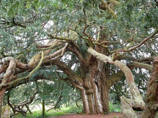 1000year old yew tree stoke Gabriel, England