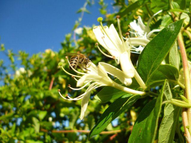 Με μεγάλης διάρκειας ανθοφορία, το αγιόκλημα, θεωρείται από τα πιο χαρακτηριστικά μελισσοτροφικά φυτά.
