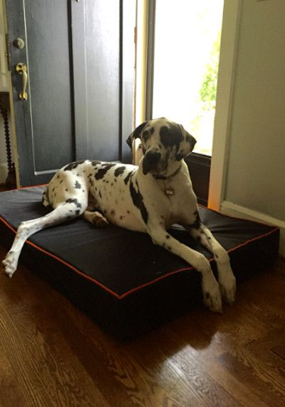 Harlequin Great Dane loving his new BAD Company Black Extra Large Dog Bed! This dog bed features orange accents to give the bed a tough American Biker look!