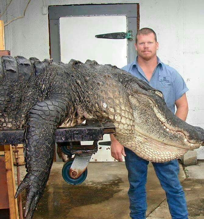 This Is A Real Gator Taken Out Of Lake Okeechobee Fl We