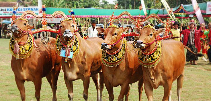Madurese cattle. Indonesia