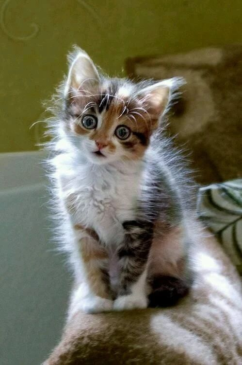Static Electricity Adorable Little Fluffy Kitten - Aww