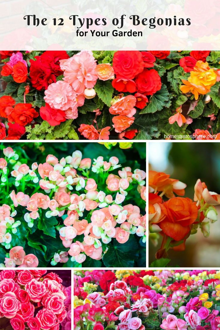 The 12 Types Of Begonias For Your Garden Begonia Garden Types Pretty Flowers