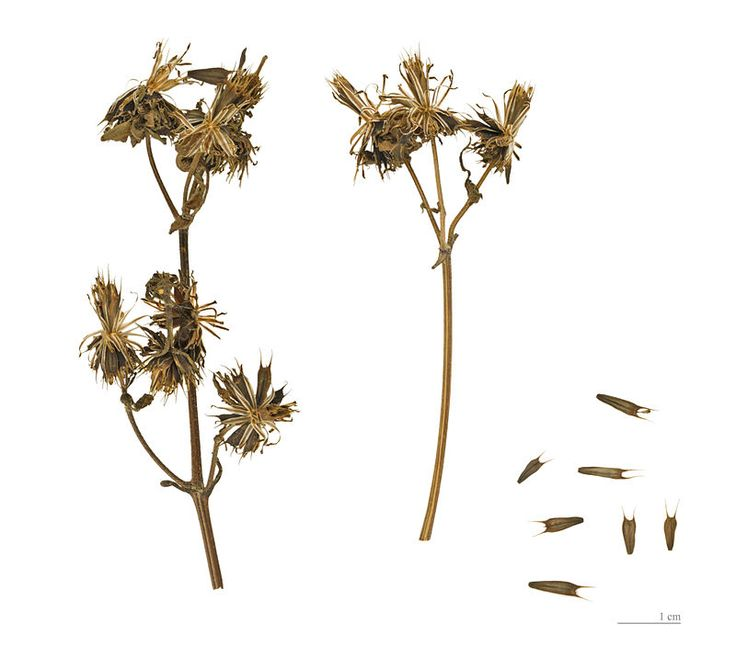 17 Best Ideas About Seed Dispersal On Pinterest