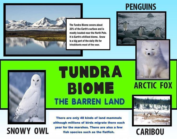Make a Tundra Biome Poster | Science Poster Ideas ...