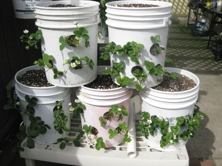 strawberry plants in 5 gallon buckets. wonder how i can earthbox this...