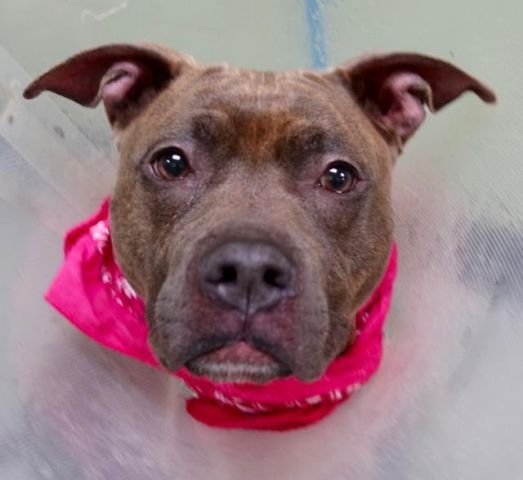 """LULU - A1101811 - - Manhattan  TO BE DESTROYED 01/29/17: ****PUBLICLY ADOPTABLE**** A volunteer writes: It is difficult to get to know a dog when the """"elements"""" are not very favorable. Rain was pouring on New York City yesterday, and not every pooch liked it. Lulu (what a beautiful French name) was waiting patiently at her door and got leashed in no time. A real trooper she was, wearing her cone (she had just been spayed) and marching bravely while we were being"""
