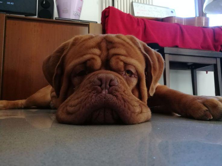Meet our dogue de bordeaux http://ift.tt/2IgSoEz