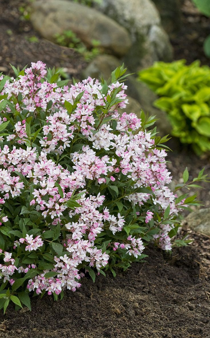 Yuki Cherry Blossom Deutzia Is Our National Landscape Plant Of The Springbed 2 In 1 Medium Comfort Bear Year For 2017 Enjoy This Petite Beauty Your La Lets Create 2018 Garden