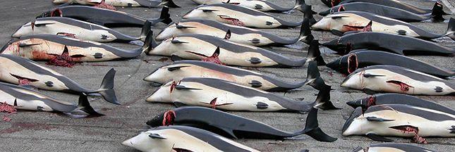 Au nord de l'Écosse, dans l'archipel des îles Féroé, le massacre de dauphins d'une espèce appelée 'globicéphale noir', se perpétue en 2016.