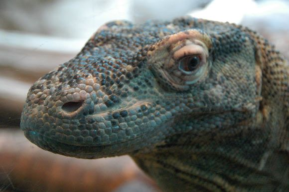 A team of researchers at the College of Science at George Mason University has detected 48 antimicrobial peptides in the blood plasma of Komodo dragons (Varanus komodoensis), the largest living lizards. The discovery could lead to the development of new drugs capable of combating antibiotic-resistant bacteria.