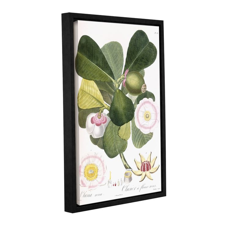 ArtWall Pierre Antoine Poiteau's Clusia rosea Clusier a fleurs roses, Gallery Wrapped Floater-framed Canvas