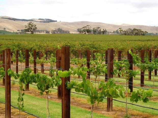 Cap sur le sud de l'Australie, où se trouve une région bien connue des passionnés de vin : La vallée Barossa - Celle-ci se trouve à une soixantaine de kilomètres de la ville d'Adélaïde et constitue une destination de choix pour découvrir les vins australiens et les caves locales. Elle est réputée pour la production de syrah, un cépage utilisé dans l'élaboration de vins rouges de caractère.