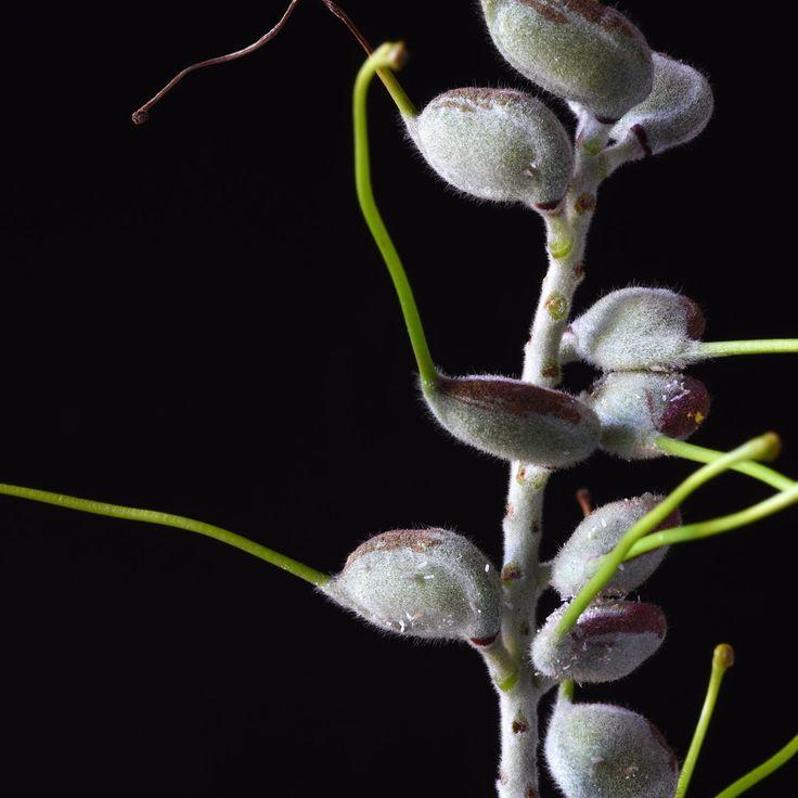 Don Urban. Grevillea seed pods. . . . #flowers #botanicalphotography #nature #art #botanicalart #botanical #flora #photography #flowerporn #macro #floweroftheday #macrophotography #macroflowers  #botanicalart #flowersandmacro #botanicaminima #botanicalportrait #moodybotanicals #plantsonblack #flowersonblack #macro_vision #macro_perfection #darkbotanical #moodybotanicalportraits #botanicaetcetera #plantnerd