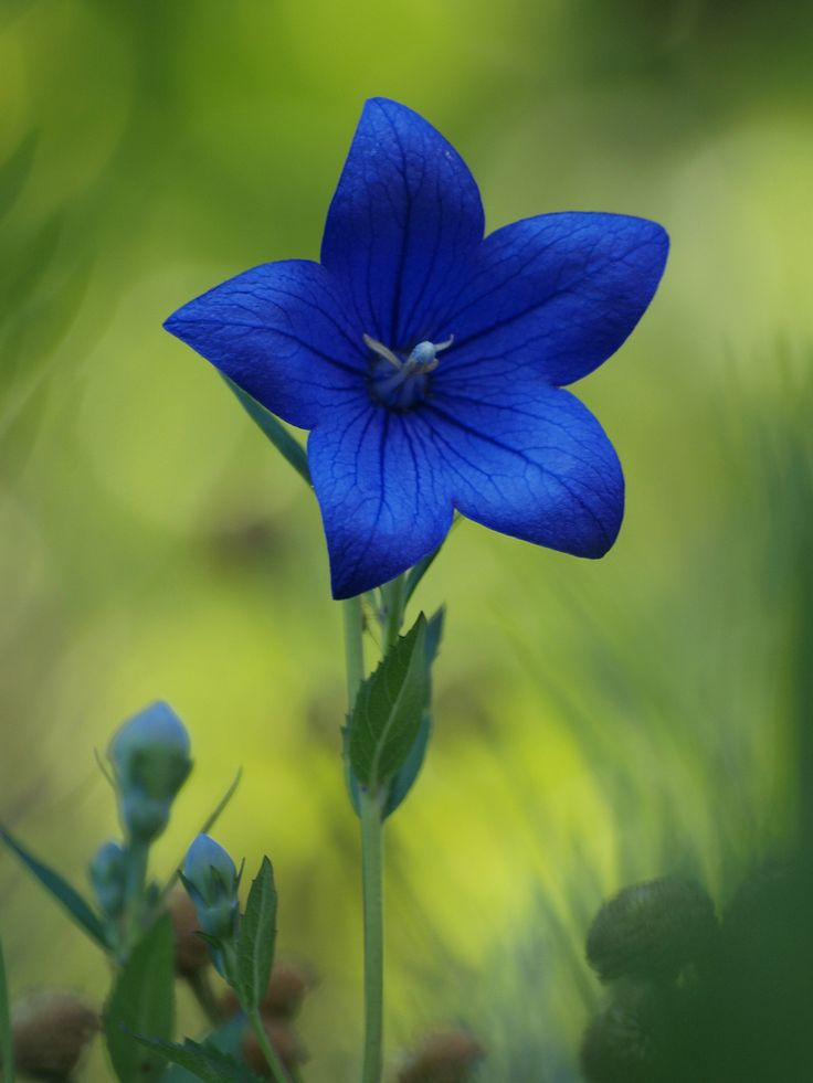 Platycodon Grandiflorus is a species of herbaceous flowering perennial plant of the family Campanulaceae, and the only member of its genus. This species is known as Platycodon or Chinese Bellflower.