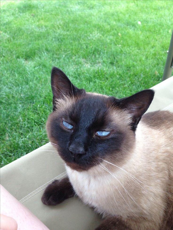 Beautiful Siamese Cat With Amazing Blue Eyes Siamese