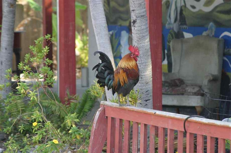 Key West Chickens  :)