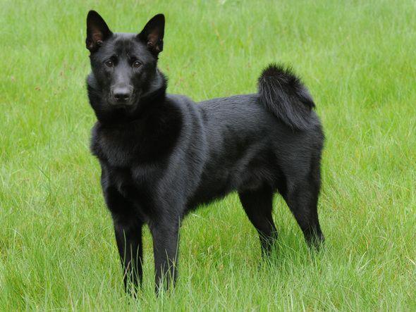 Norsk elghund sort / Noorse Elandhond Zwart / Norwegian Elkhound Black