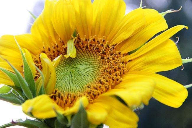 {mornin' sunshine!}: Daisies Sunflowers, Sunny Sunflowers, Style Pinboard, Summer Time