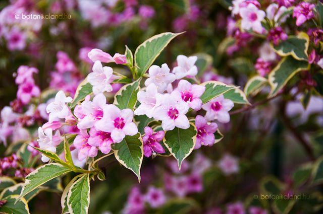 A Kelet-Ázsiából származó rózsalonc az egyik legelbűvölőbb virágos kerti cserjénk.