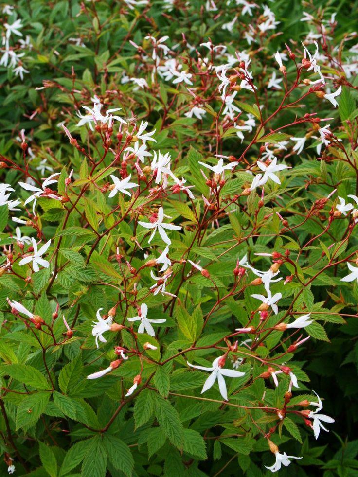 trebladsspiran, 'gillenia trifoliata'! Så subtilt vacker i all sin anspråkslöshet. formgivaren Signe Persson-Melin – det är hennes favoritperenn.