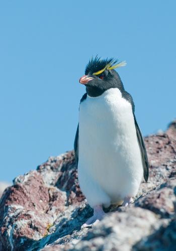 Pingüino de Penacho Amarillo, Puerto Deseado