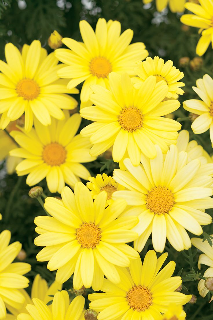 white+and+yellow+Daisy+Wedding+Bouquets+Pictures+Of | Marguerite Daisy Flowers ~ Top Flowers Wallpaper