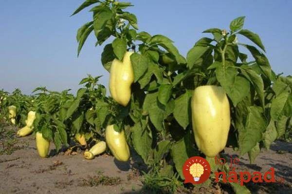 Z jednej rastliny budete mať plody celé roky: Stačí, ak po zbere poslednej papriky vyskúšate trik starých pestovateľov!