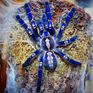 Gooty Sapphire Tarantula, Live Reptile